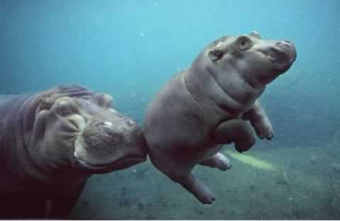 http://wild-facts.com/wp-content/uploads/2009/11/baby-hippo.jpg