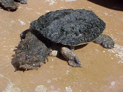 02 Matamata Turtle