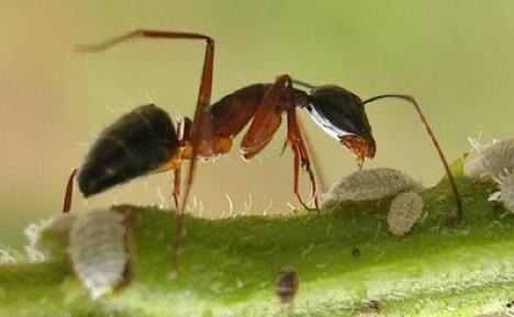 exploding-ant