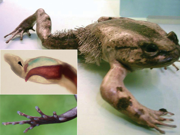 Defense Mechanism of the Hairy Frog