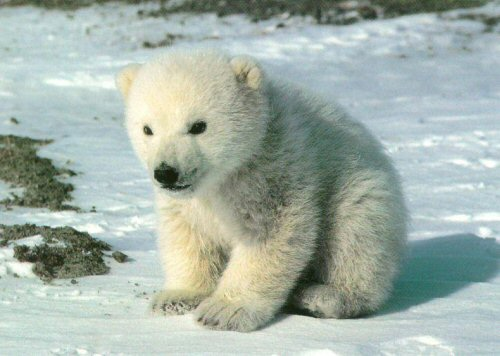 Adaptations that Allow the Polar Bear to Survive the Harsh ...