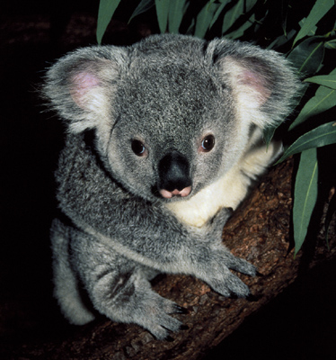 Koala Bear Facts | Wild Facts