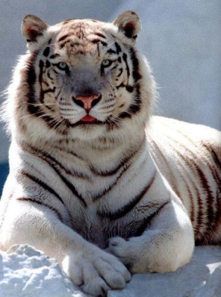 White siberian tiger in snow - photo#11
