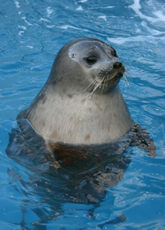 seal. Facts about the Harbor Seal