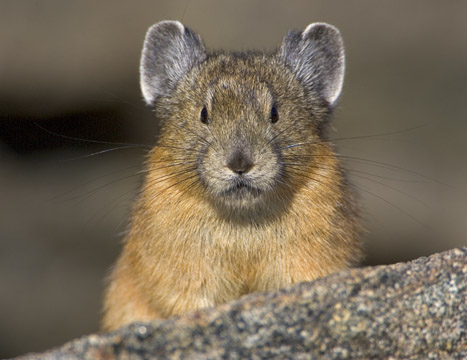 facts about the pika