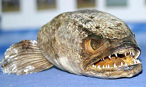 snakehead_fish.jpeg