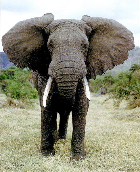Facts about the African Elephant | Wild Facts