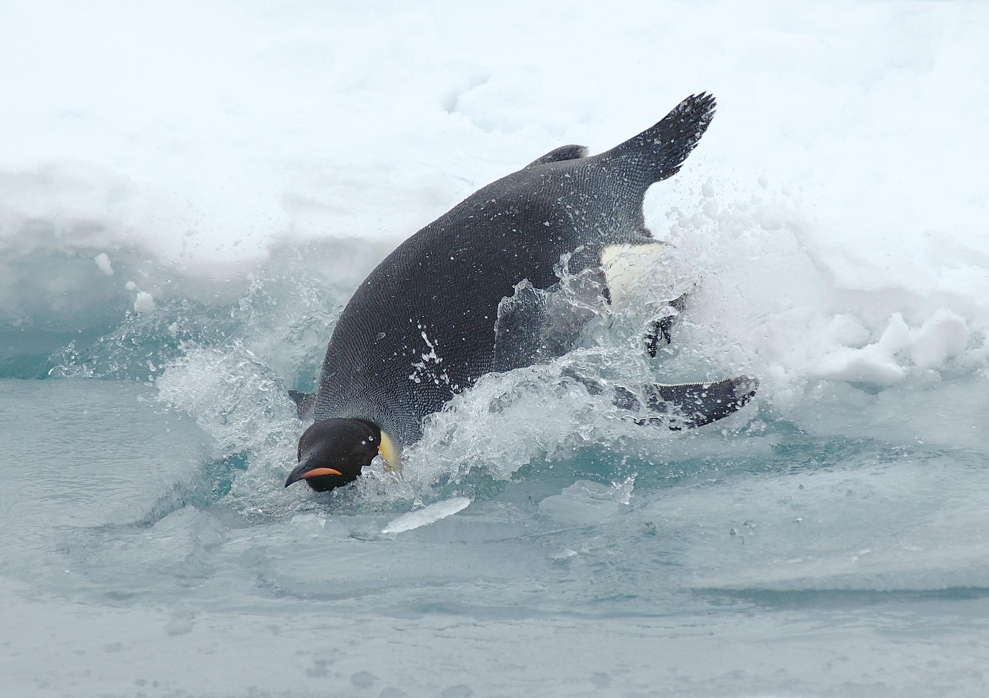 external image Diving_emperor_penguin.jpg