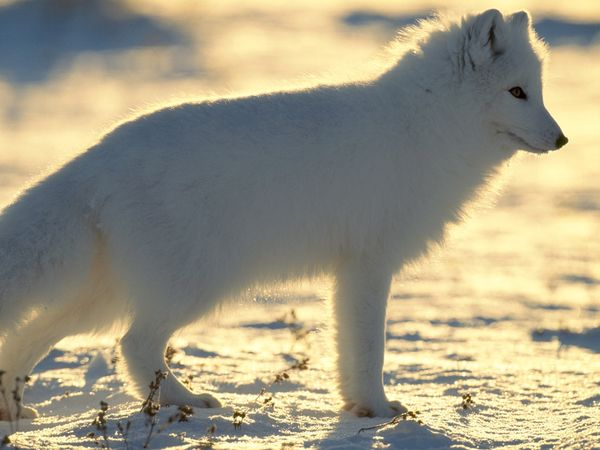 Arctic Fox Facts Archives - Animal Facts for Kids | Wild Facts