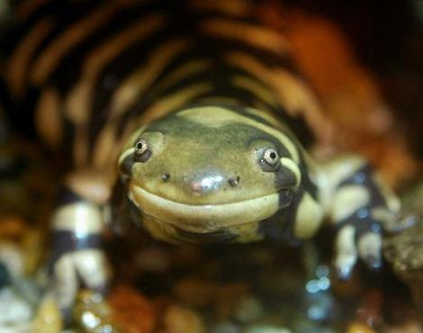 Salamander+pictures+and+facts