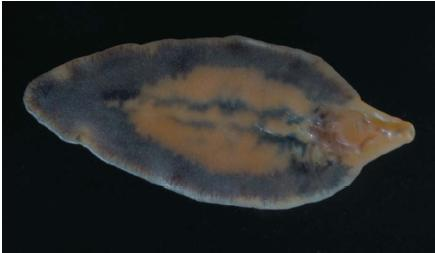 Fluke Parasite >> Facts About The Liver Fluke