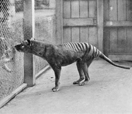 Facts about the Tasmanian Tiger