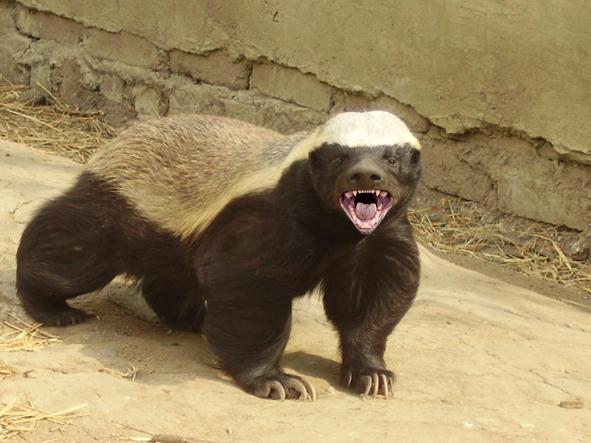 Honey badger vs lion testicles - photo#10