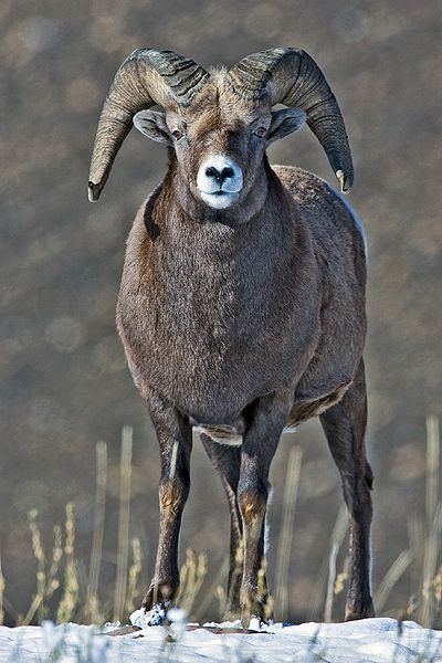 facts about the rocky mountain bighorn sheep wild facts