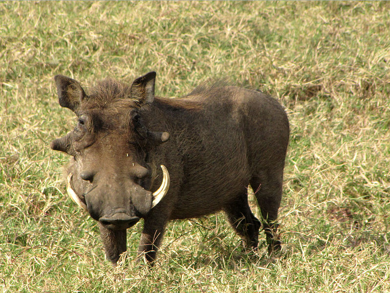 common warthog. Common Warthog | Wild Facts