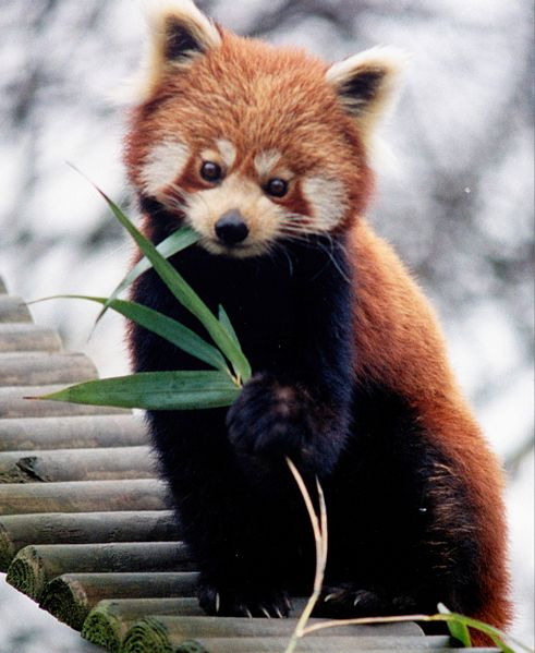 Red Panda Facts Worksheets Habitat Anatomy and Life